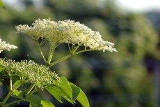 Jak przygotować i jak pić syrop z kwiatów czarnego bzu?