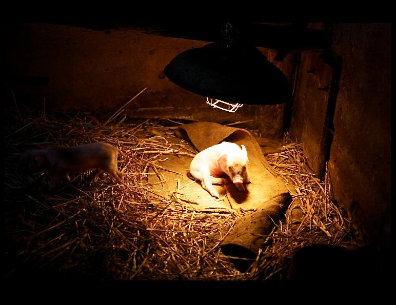 prosiaczki pod lampa