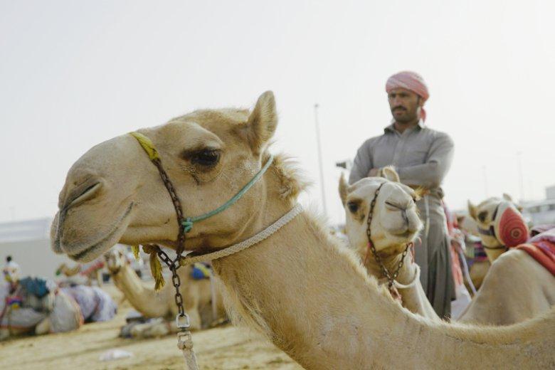 Przejażdżka na wielbłądzie to obowiązkowa pozycja na liście rzeczy do zrobienia w Dubaju