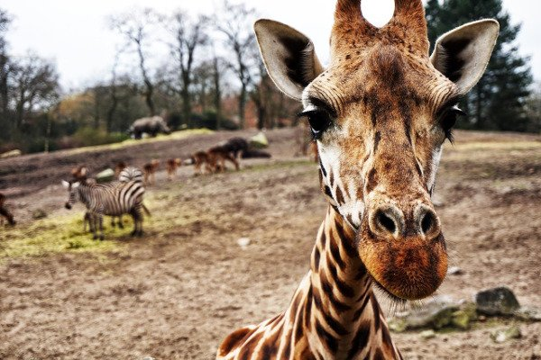 Fot. Pixabay.com / [url=https://pixabay.com/en/giraffe-zebra-africa-safari-1082168/]Unsplash[/url] / [url=https://pixabay.com/en/service/terms/#usage]CC0 Public Domain[/url]