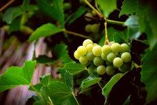 Czy sok winogronowy leczy grypę żołądkową?