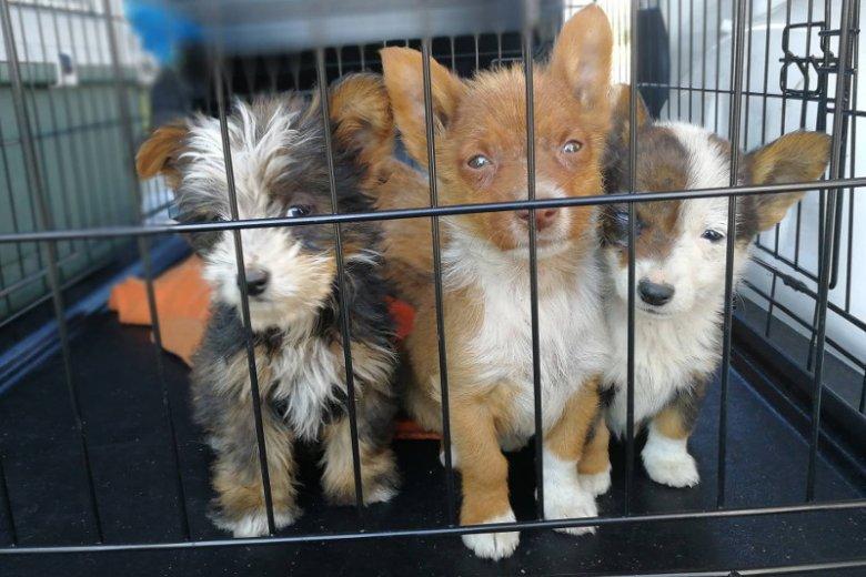 Fundacja wystawiła do adopcji psy typu shih tzu