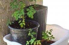 Liście tej rośliny są zdrowsze od szpinaku, marchwi i cytrusów. Mają więcej wapnia niż mleko.