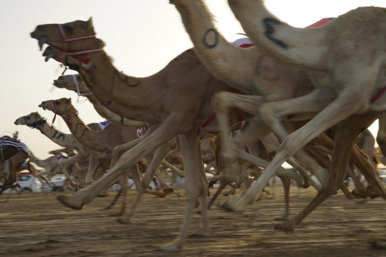 Główną atrakcją festiwalu dziedzictwa Al Marmoum są wyścigi wielbłądów na największym w mieście torze wyścigowym